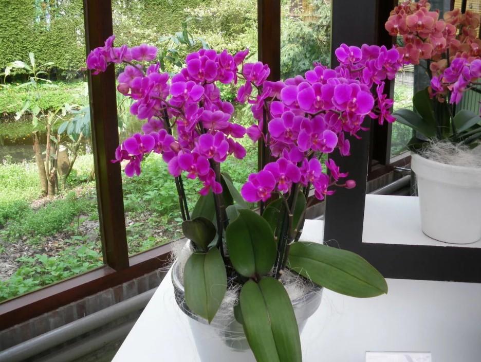 Почему не цветет орхидея и как это исправить